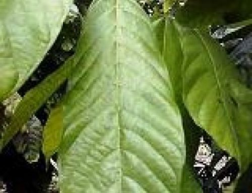 Bio-Pesticide works on Cocoa in Equador